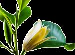 Bunga-kanthil