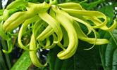 bunga-kenanga