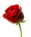Mawar-merahku