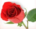 bunga-mawar-merah